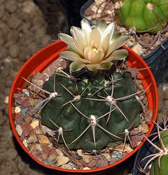 Mini-Show Cactus May 2016: Gymnocalycium