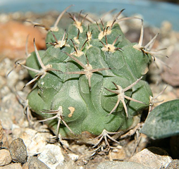 Gymnocalycium nova
