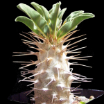 Mini-Show Succulent July 2016: Pachypodium