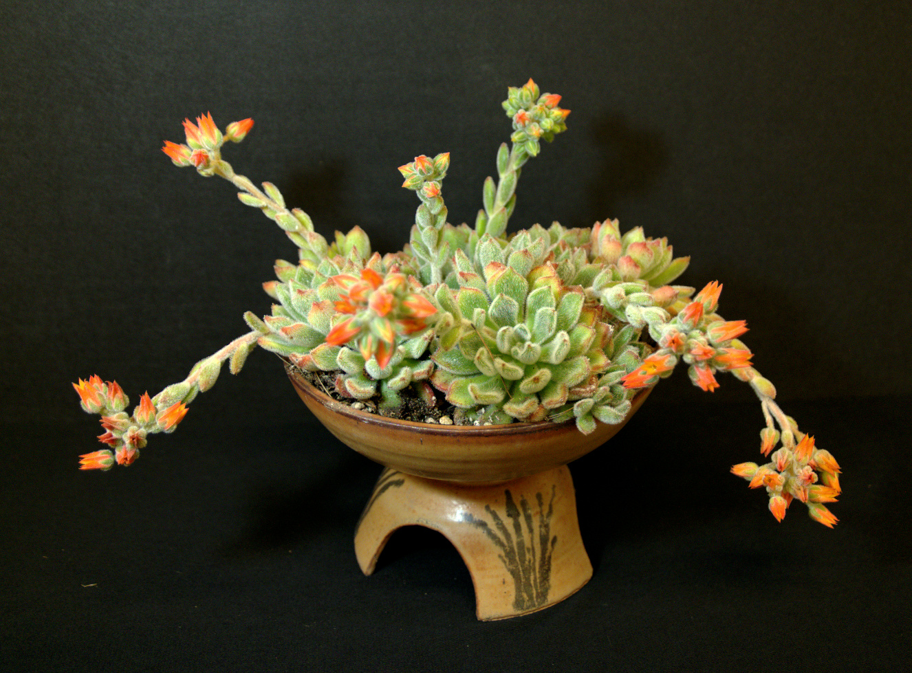 SCCSS 2016 June - Winner Novice Succulent - Mike Short - Echeveria 'Doris Taylor'