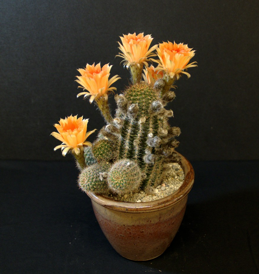 SCCSS 2016 July - Winner Novice Cactus - Mike Short - Echinopsis densispina