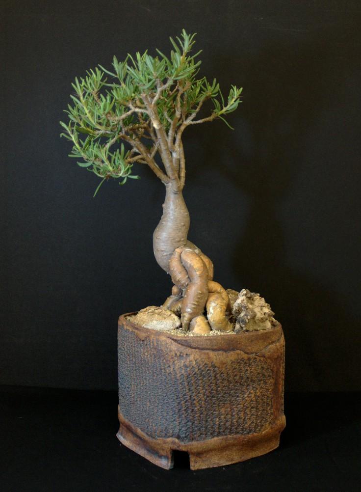 SCCSS 2016 July - Winner Open Succulent - Jim Hanna - Pachypodium succulentum var 'Griquense'