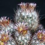 Mini-Show Cactus September 2016: Coryphantha And Escobaria