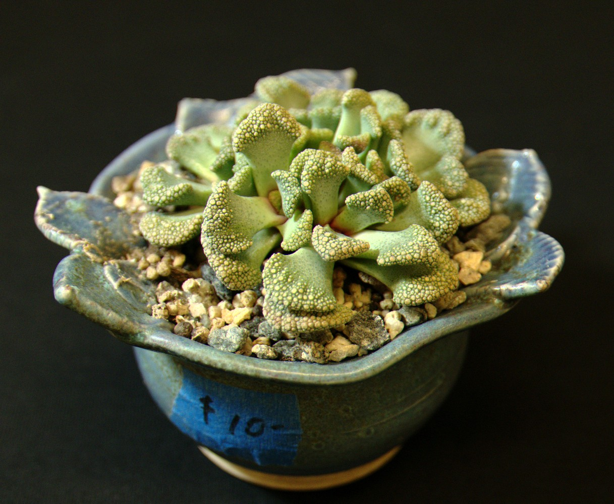 SCCSS 2016 August - Winner Open Succulent - Laurel Woodley - Titanopsis calcarea