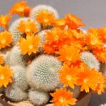 Mini-Show Cactus October 2016: Rebutia And Sulcorebutia