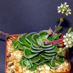 Mini-Show Succulent November 2016: Miniatures