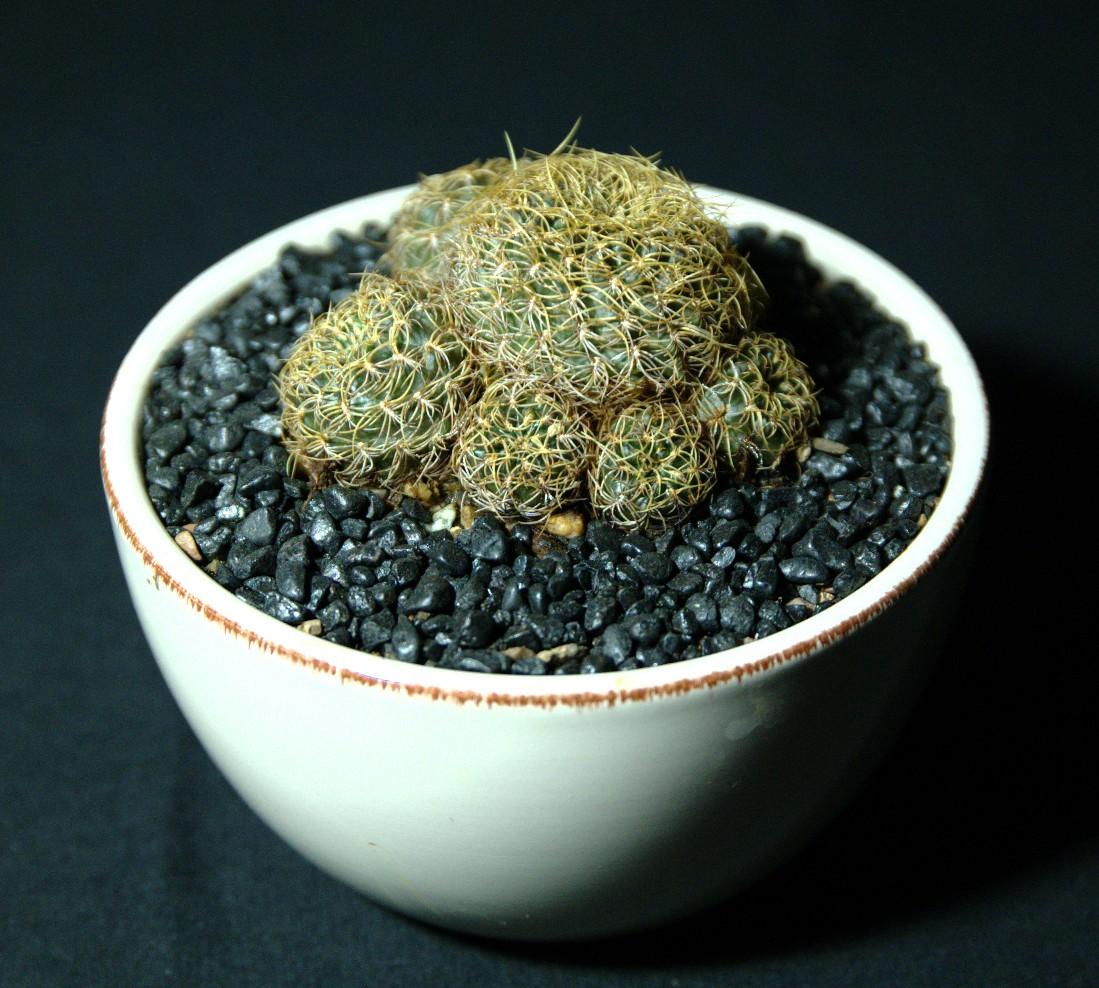 SCCSS 2016 October - Winner Intermediate Cactus - Phyllis DeCrescenzo - Rebutia