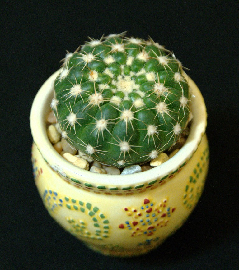 SCCSS 2016 November - Winner Intermediate Cactus - Phyllis DeCrescenzo - Notocactus