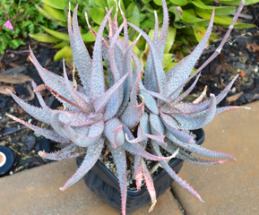 Aloe pictifolia hybrid