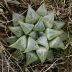 Mini-Show Succulent February 2017: Haworthia & Astroloba