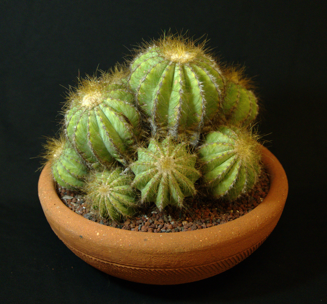 SCCSS 2017 January - Winner Intermediate Cactus - Dale LaForest - Notocactus magnificus
