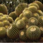 Mini-Show Cactus March 2017: Echinocactus