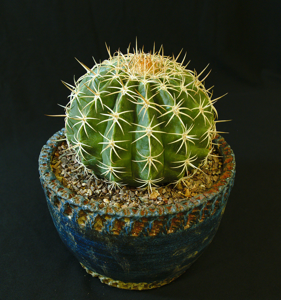 SCCSS 2017 February - Winner Intermediate Cactus - William Wilk - Melocactus ernesti