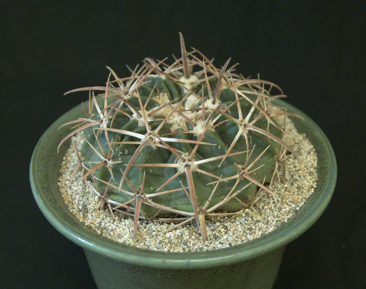 SCCSS 2017 March - Winner Intermediate Cactus - Jade Neely - Echinocactus texensis