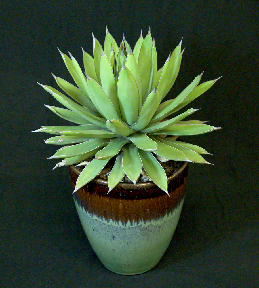 SCCSS 2017 March - Winner Intermediate Succulent - Jade Neely - Agave 'Royal Spine'