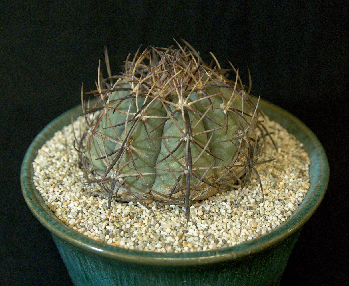 SCCSS 2017 March - Winner Open Cactus - Gary Duke - Echinocactus horizonthalonius