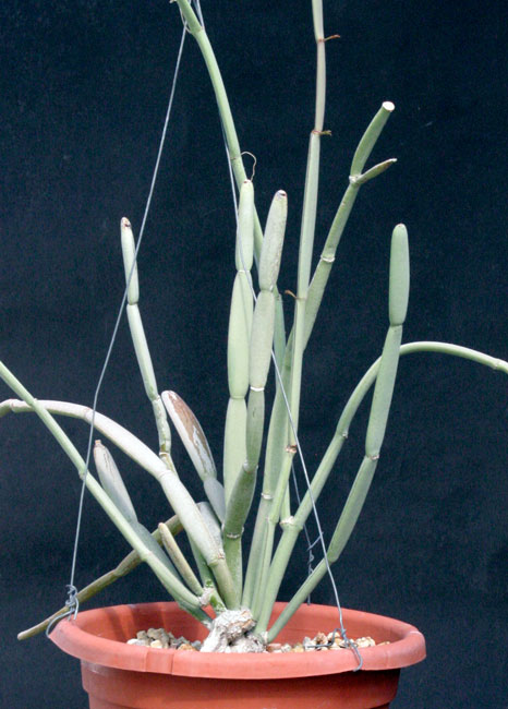 Cissus subaphylla
