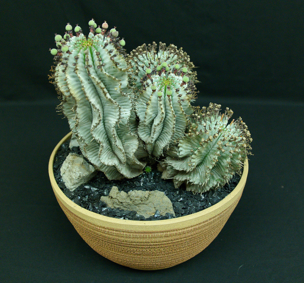 SCCSS 2017 May - Winner Intermediate Succulent - William Wilk - Euphorbia Horrida Var. Striata