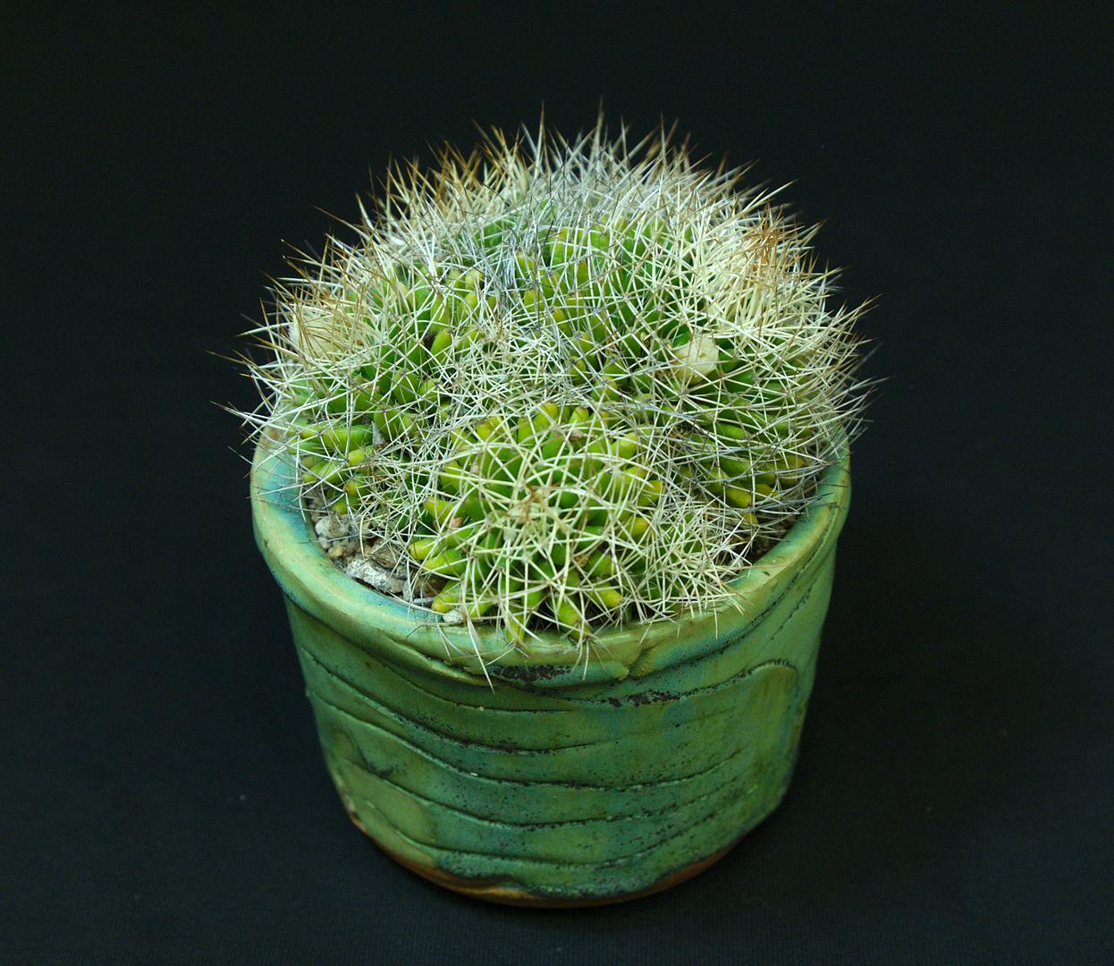 SCCSS 2017 May - Winner Novice Cactus - MA Bjarkman - Mammillaria decipiens
