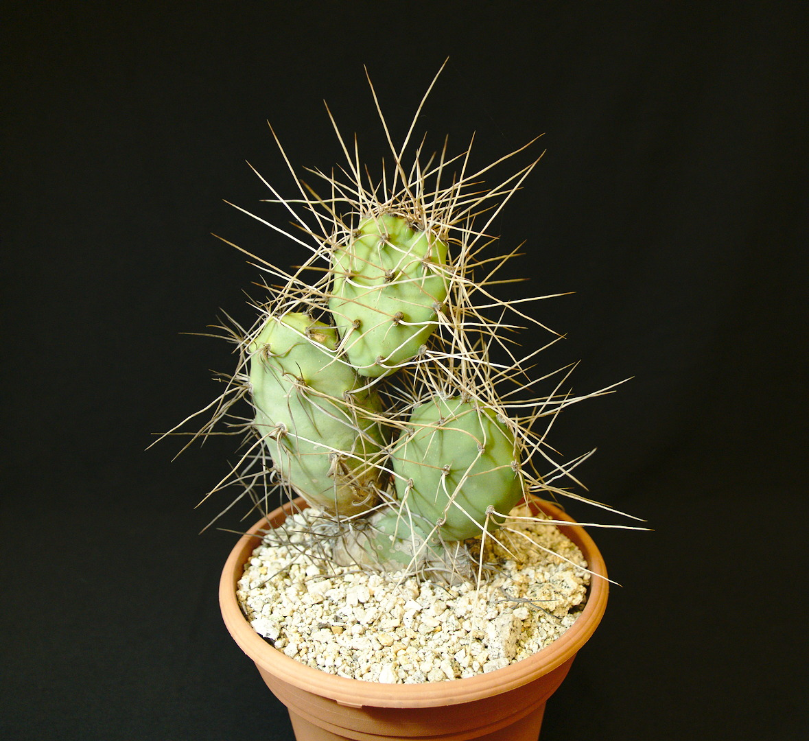SCCSS 2017 June - Winner Novice Cactus - Bernard Johnson - Opuntia sulphurea