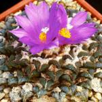 Mini-Show Cactus August 2017: Ariocarpus