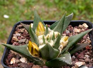 Ariocarpus retusus var. trigonus