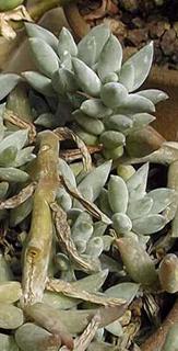 Pachyphytum coeruleum