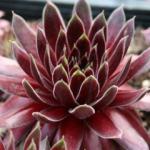 Mini-Show Succulent August 2017: Sedum, Pachyphytum, Sempervivum