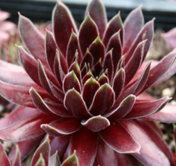 Sempervivum 'Fuego'