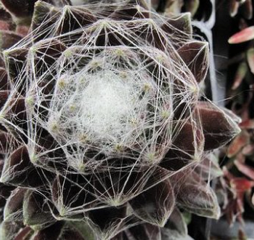 Sempervivum arachnoideum 'Red Cobweb'