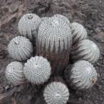 Mini-Show Cactus October 2017: Copiapoa