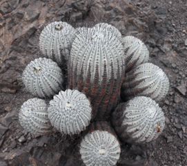 Mini-Show Cactus October 2017: Copiapoa