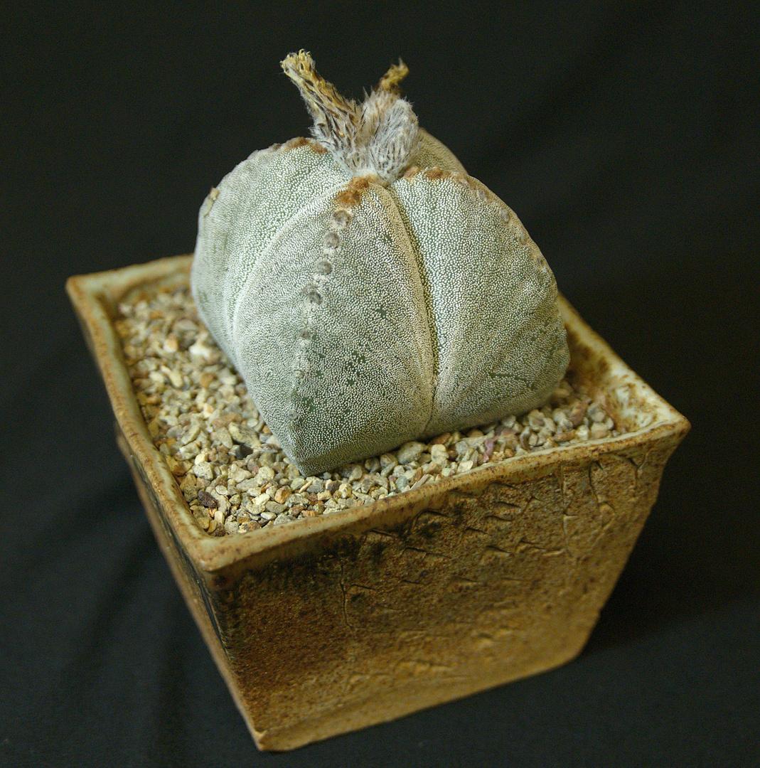SCCSS 2017 September - Winner Novice Cactus - MA Bjarkman - Astrophytum myriostygma