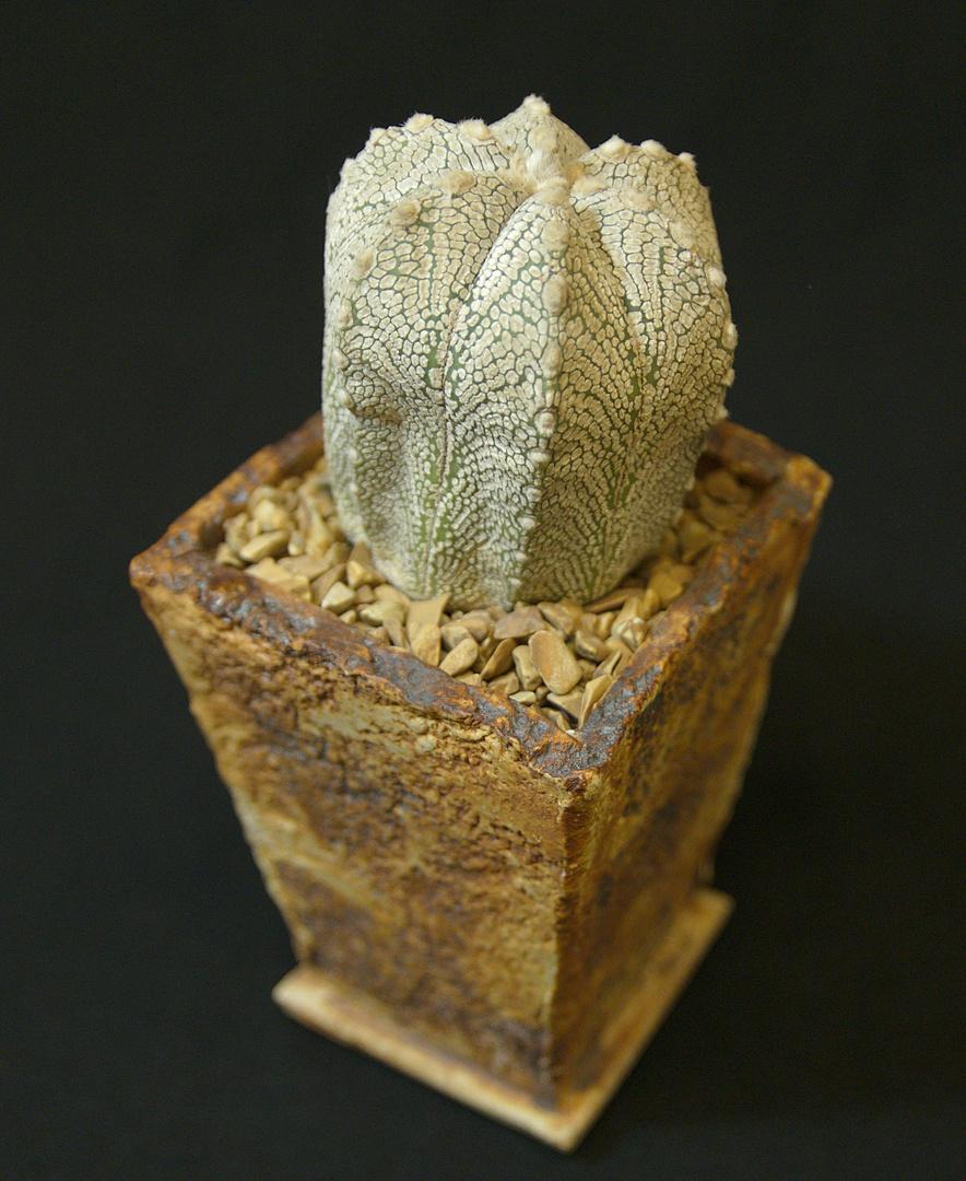 SCCSS 2017 September - Winner Open Cactus - Maria Capaldo - Astrophytum 'Snow Storm'