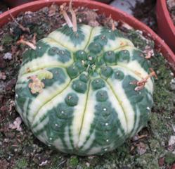 Euphorbia variegated