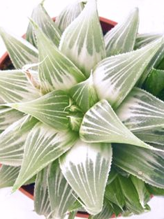 Haworthia 'White Ghost'