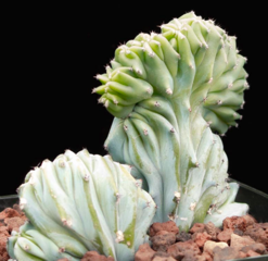 Myrtillocactus geometrizans 'Elite Crest'