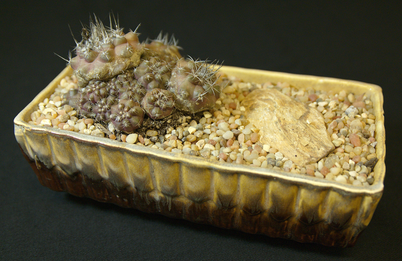 SCCSS 2017 October - Winner Intermediate Cactus - Phyllis DeCrescenzo - Copiapoa griseoviolacea