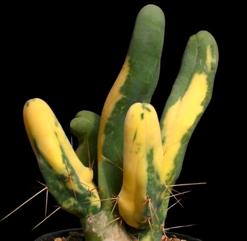 Trichocereus bridgesii f. monstruosus variegatus
