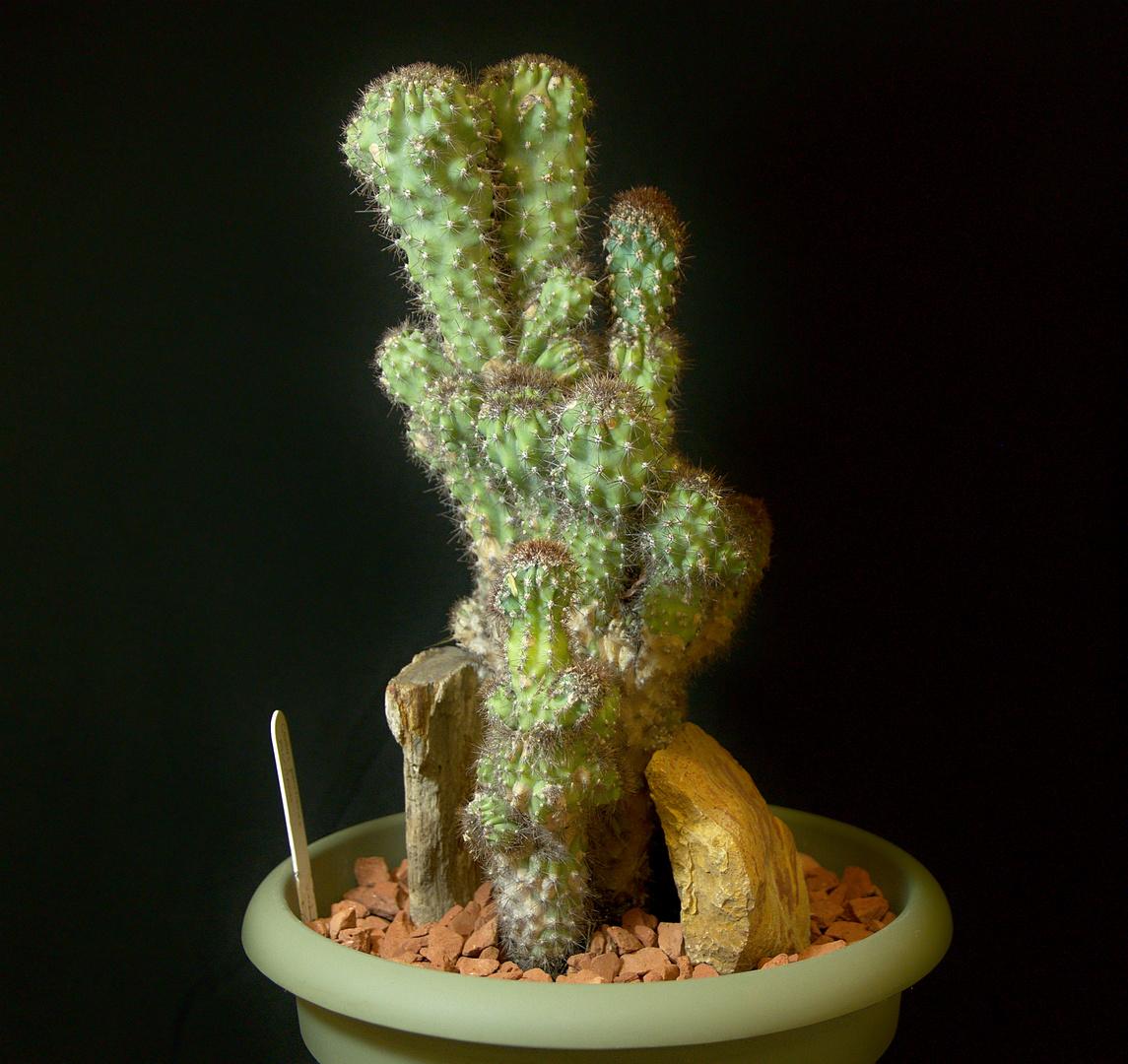 SCCSS 2017 November - Winner Intermediate Cactus - Phyllis DeCrescenzo - Cereus peruvianus f. monstruosus