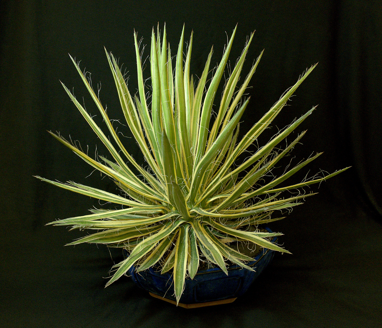 SCCSS 2017 November - Winner Novice Succulent - Bernard Johnson - Agave filifera 'Shiro no Ohi'