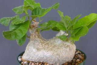 Cibirhiza albersiana