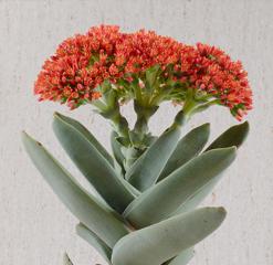 Crassula perfoliata var. falcata