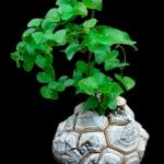 Dioscorea Elephantipes