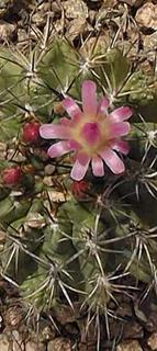 Eriosyce subgibbosa castanea