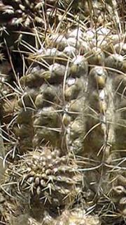 Eriosyce crispa var. carrizalensis (=Neochilenia carrizalensis)