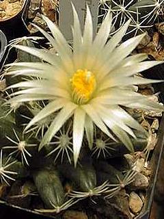 Escobaria asperispina