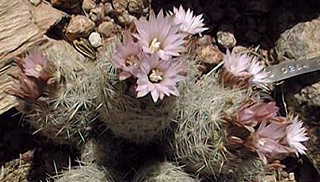 Escobaria tuberculosa