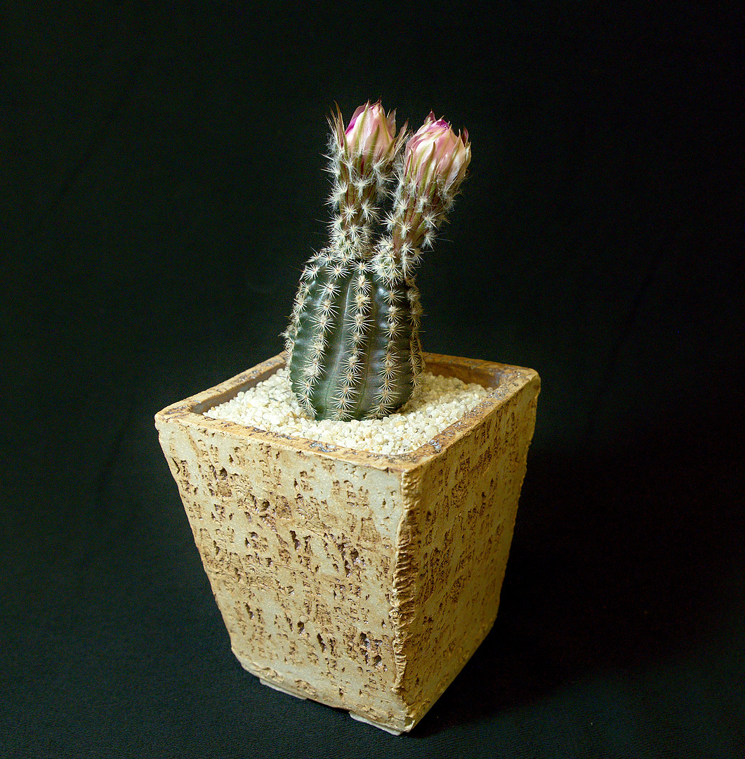 SCCSS 2018 March - Winner Intermediate Cactus - Sally Fasteau - Echinocereus reichenbachii var. albertii