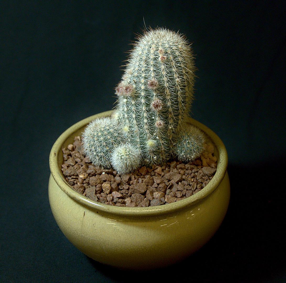 SCCSS 2018 March - Winner Novice Cactus - Eric Scott - Echinocereus nivosus